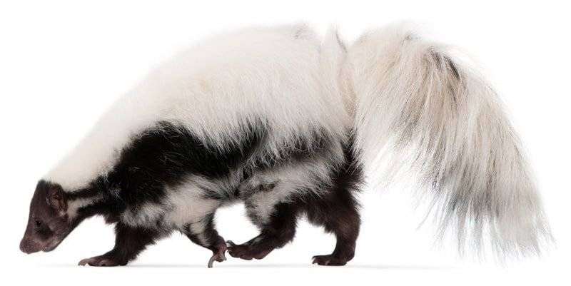 Cat sprayed by Skunk